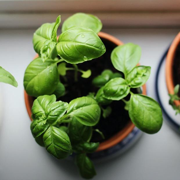 Своє смачніше: як вирощувати трави на кухні — Їжа на The Village Україна